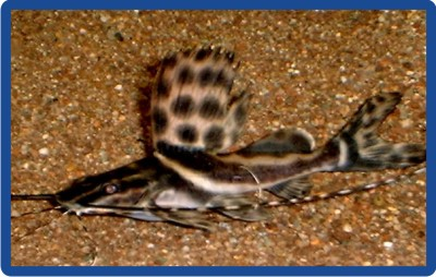 Achara corbata ( Leiarius pictus )